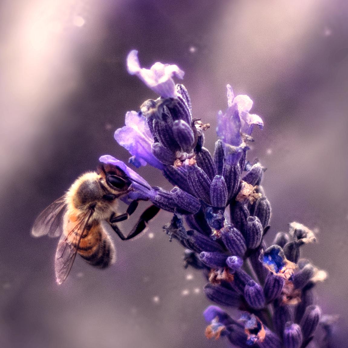 abeille lavande bee